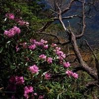 大台ヶ原登山「断崖のシャクナゲ」