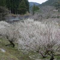 川売(かおれ)の梅まつり