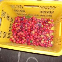 スモモのメスレーと桃の収穫2016年