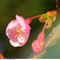 カワヅザクラ 〈河津桜〉 B