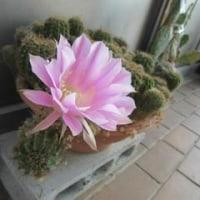 サボテンの花が咲きました