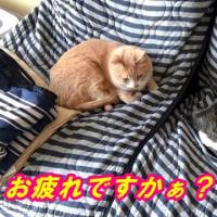 キャンプから帰って、お疲れの猫【猫日記こむぎ&だいず】2017.04.18