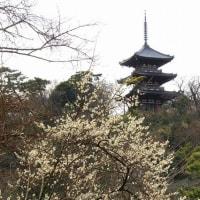 三渓園・梅の花