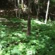 黒岳原生林から風穴3