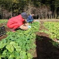 ●1/15 大久保農園報告 作業がはかどりました。