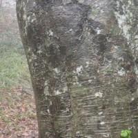 霧の乙和池:ブナの巨木の幹を雨がつたわって流れて行きます。