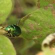 コガネムシ(甲虫)