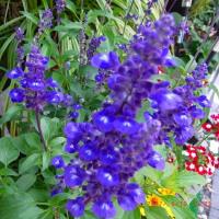 我家の花達と野菜 2017年6月-2 第158号