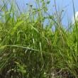 高ボッチ高原・鉢伏山で最近咲いている花 イブキボウフウ(伊吹防風)