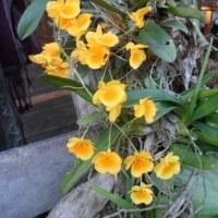 【黄金蘭、咲きました】