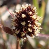 スズメノヤリの花穂