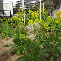"""""""水虫治療""""形成外科、「菊菜初芽」収穫 家庭菜園"""