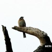 5/26探鳥記録写真(5月中旬に出会った鳥たち:エゾビタキ、コシアカツバメほか)