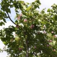 木登りツクシイバラ