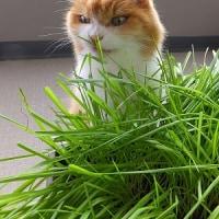 ネコ草むしゃむしゃ♪