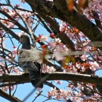桜開花 2017