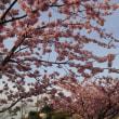 3/8 河津桜