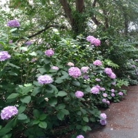 紫陽花さんぽ