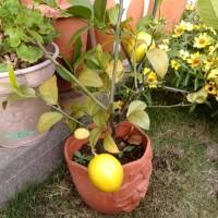 今年のレモン