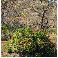 熱海梅園 (静岡県熱海市梅園町)(3の3)★ 2017.01.19 ★