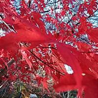 名残紅葉に,魅せられて。・・・あまりにも、美しい。・・