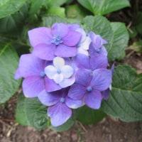 愛し紫陽花、色模様
