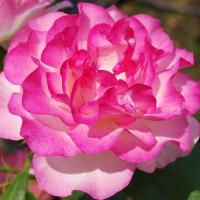 ☆煌めく薔薇...♪