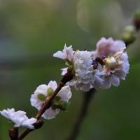 琵琶の花が咲き始め、十月桜が咲き続けています