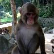 高崎山の猿 猿 猿