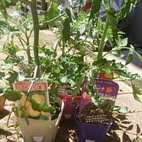 トマトの苗を買う。
