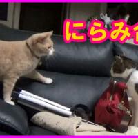 2016.09.02 CatsDiary 【♀猫こむぎ&♂猫だいずの動画日記】