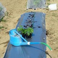 インゲン豆を定植。