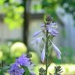 今朝一番の輝き花 ギボウシ