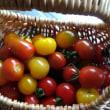 今日のトマト&初トルコキキョウ開花(。•ㅅ•。)♡