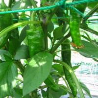 ピーマン、甘トウの収穫始まる