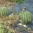 7月19日(水曜日)「正昭さんちの西瓜」(ピエロ)