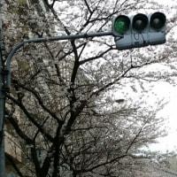 桜咲く\(^o^)/
