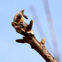 オニグルミの芽が開きそう