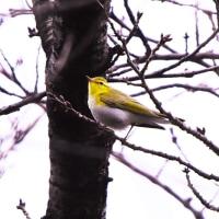今日の野鳥    迷鳥さんとの出会い (モリムシクイ)