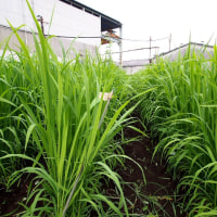 陸稲(おかぼ)の米作り