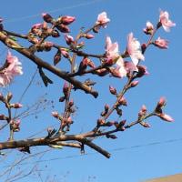 桜の花ほころび始めた