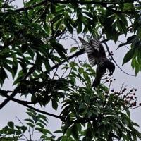 ヤンバルアワブキの実に訪れる小鳥たち(ヒヨドリ、エゾビタキ、キビタキ)