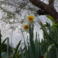 野に咲く冬の可憐な花   水仙の一番咲き