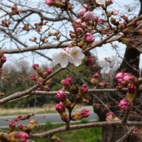 浅川土手の桜開花