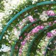 5/20 花菜ガーデンバラ