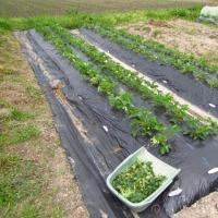 イチゴの摘果・摘葉・ランナー取り&敷き藁