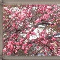 「紅梅」と「白梅」の違いが木の切口で分かる事を知りました。