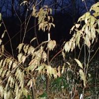 雪害に弱い栗の木