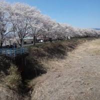 小高の桜 2014