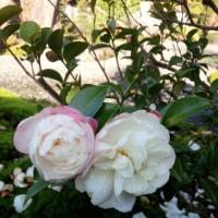 さざんかの花が咲いている。
